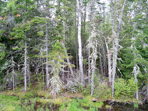 Photo: Spruce Trees and Moss