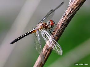 Photo: Blue Dasher, female
