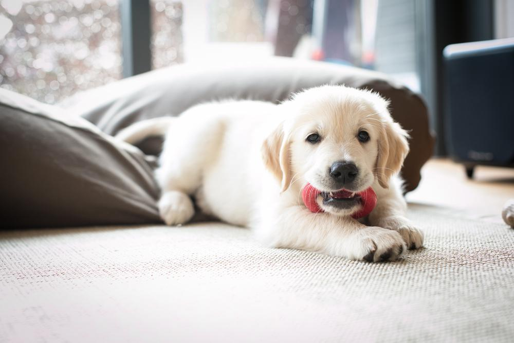 puppy labrador chewing a toy