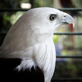 Eagle by Re Rahnavarda - Animals Birds