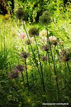 Photo: weiter geht es mit versch. Alliumbilden