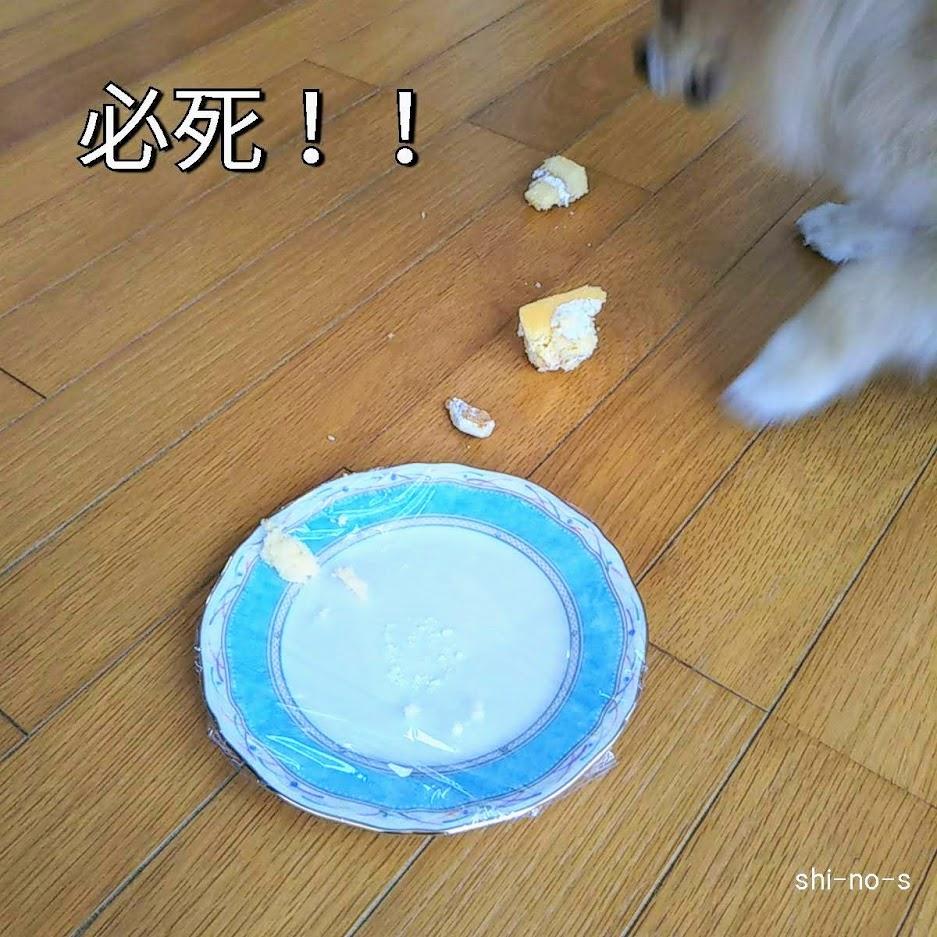 犬用ケーキを床にまき散らして食べている