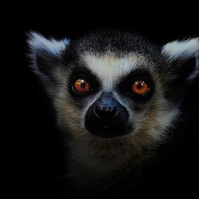 The Goth by Esteban Rios - Animals Other Mammals ( lemur eyes dark )