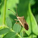 Horned Coreid Bug