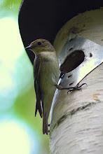 Photo: Female European Pied Flycatcher Ficedula hypoleuca