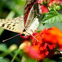 Cardinal Butterfly