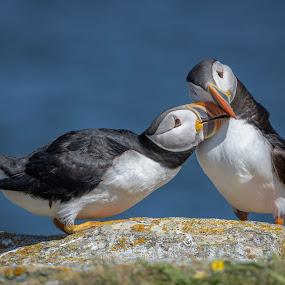 Puffin Love by Ronnie Sue Ambrosino - Animals Birds ( bird, newfoundland, nature, wildlife, puffin,  )