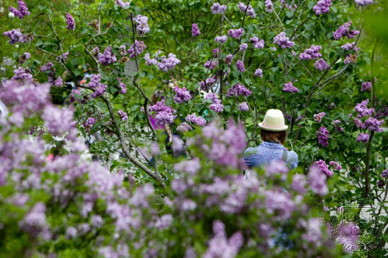 Photo: Harvard University's Arnold Arboretum celebrated the 104th Lilac Sunday with tours and other activities.   Rose Lincoln/Harvard Staff Photographer