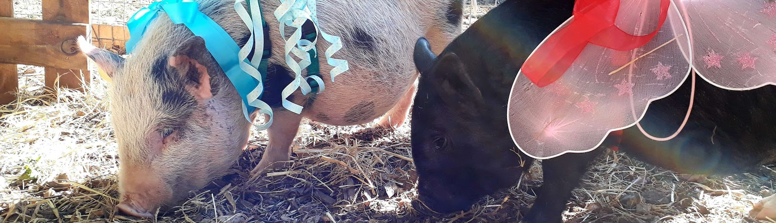 cuddly wedding pigs