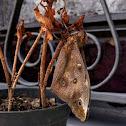 Brassolis sophorae