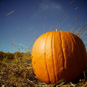 Pumpkin Field by T.J. Wolsos - Public Holidays Halloween ( pumpkin, pumpkins, fall, pwcpumpkins, october, halloween )