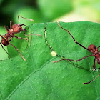 Zompopas- Leaf-cutter Ant