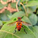 Transverse Hoverfly or Flowerfly