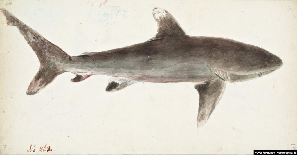 Бронзовая китовая акула, обитающая в водах у берегов Новой Зеландии. Известный своей медной окраской вид иногда нападает на людей.
