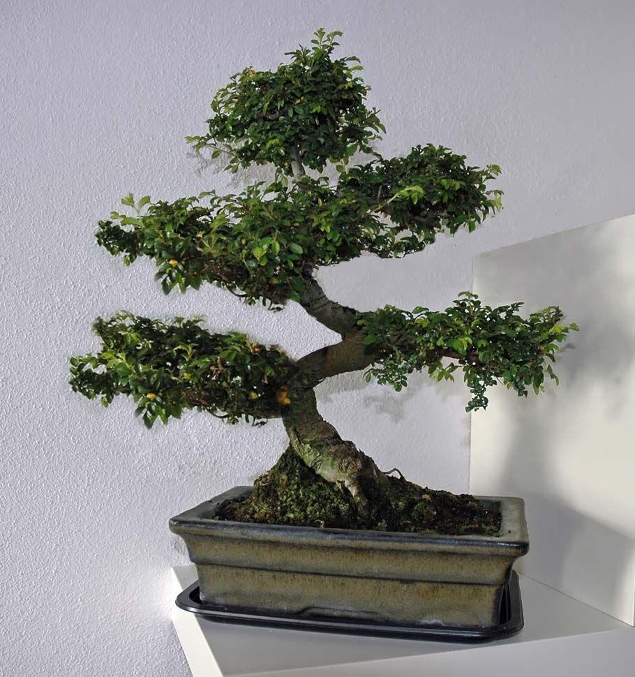 bonsai modelo moyogi