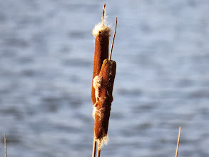 Photo: Priorslee Lake Last year's Reedmace about to burst open: the tits will soon have a field-day ripping them apart both for the seeds and the fluffy material for their nests. (Ed Wilson)