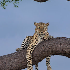 Leopard in the Kruger Park by Francois Retief - Animals Lions, Tigers & Big Cats
