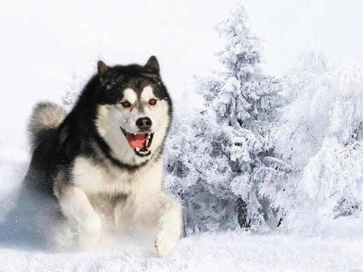 Husky Siberian Pack 2 Lwp