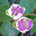 Caper bush, Κάπαρη