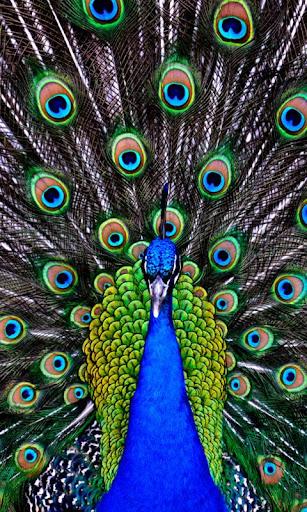 peacock live wallpaper : 7fon & lwp screenshot 2
