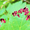 Maple-Crimson Velvet Erineum Galls