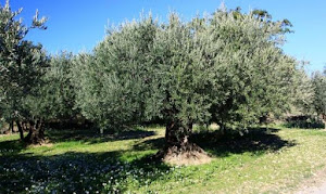 L'olivier de la chambre d'hôtes l'Esclériade