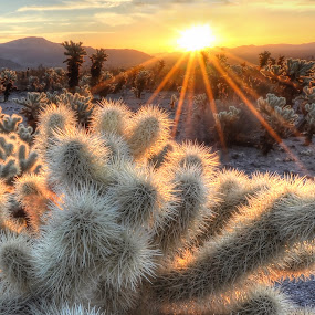 Chollas Cactus Sunrise by Cliff LaPlant - Landscapes Deserts ( america, chollas cactus, beauty, usa, joshua, photography, sun, hiking, tree, camping, sierralara, sunrays, sunshine, nikon, light, clouds, desert, park, national, california, discover, joshua tree national park, scenic, chollas, united states, united states of america, sunburst, color, outdoors, joshua tree, scenery, sunrise, discovery, cactus )