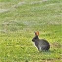 European Rabbit (Coney)