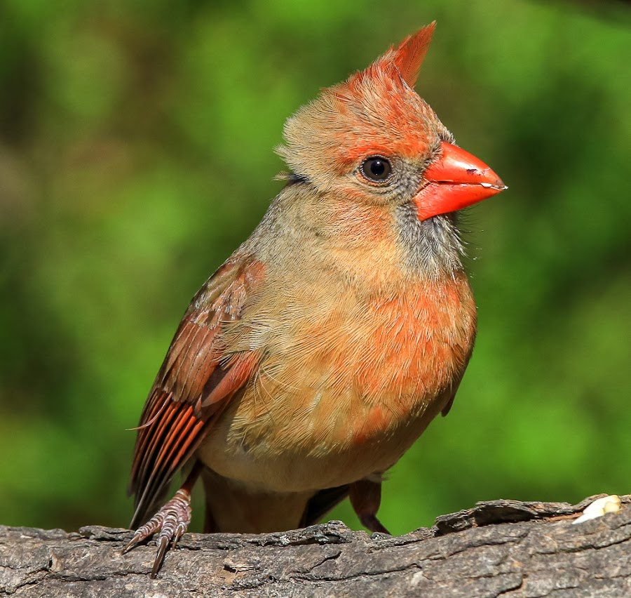 Female Cardinal by Mike Craig - Animals Birds (  )