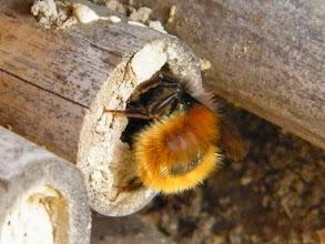 """Photo: Osmie cornue """"osmia cornuta"""" en train d'operculer son nid dans un roseau."""