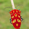 Mallotus shield bug