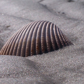 Shell by Angel Harvey - Novices Only Macro ( shell, sand, beach,  )