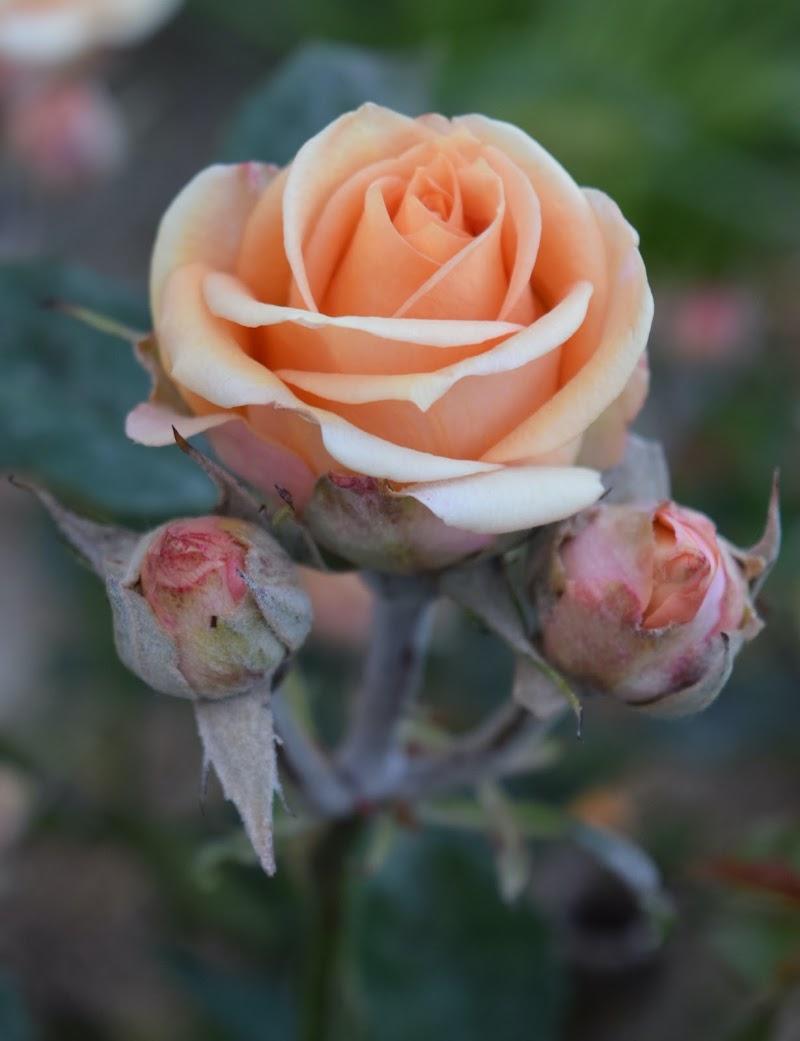 rosa  di eskerica