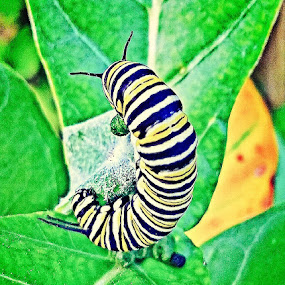 Monarch Caterpillar by Anne LiConti - Instagram & Mobile Android ( #mobilephotography, #phonephoto, #nature, #mobilephoto, #animal, #caterpillar, #phonephotography, #monarchcaterpillar )