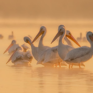 Pelican-Morning-Glow-F-110313.jpg