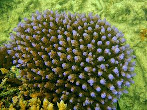 Photo: Acropora Coral, Naigani Island, Fiji