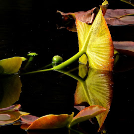 Spring Waterlily, Secret Pond by Campbell McCubbin - Nature Up Close Other plants ( pond, reflection, leaves, waterlily, water, marsh,  )