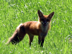 Photo: Friendly greetings from a red fox