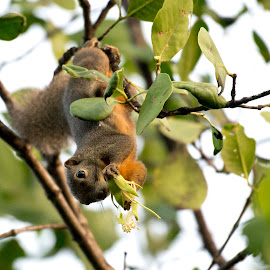 Do you want some? by Ben Cho - Animals Other Mammals ( nature walk, plaintain squirrel (callosciurus notatus), berlayer creek., labrador nature reserve )