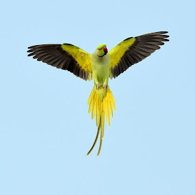 Open your wings ! by Vivek Sharma - Animals Birds ( bird, vivekclix, open, flight, parakeet, nature, wings, vivek, parrot, feathers,  )