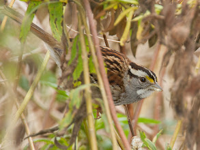 Photo: Whte-throated Sparrow