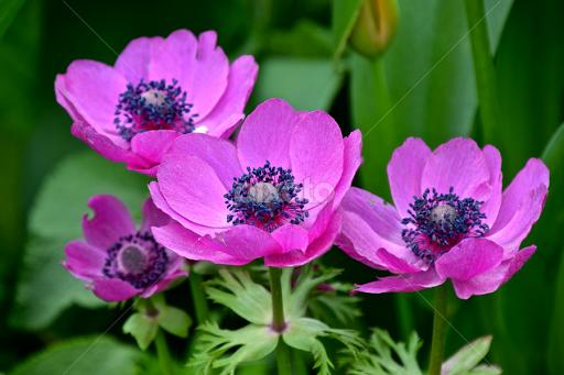 Purple poppies flower gardens flowers pixoto purple poppies by eve spring flowers flower gardens purple poppy flower poppies mightylinksfo