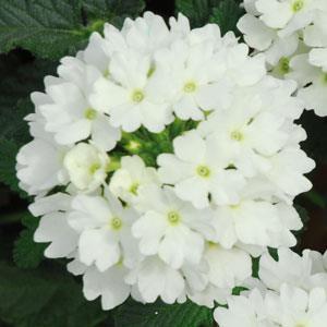 Lascar™ White