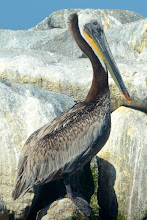 Photo: 134. Closeup of a brown pelican.