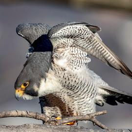 Peregrine Falcon by Debbie Quick - Animals Birds ( peregrine falcon, raptor, debbie quick, nature, falcon, debs creative images, birds of prey, stateline lookout, bird, palisades interstate park, alpine, new jersey, animal, wild, wildlife,  )