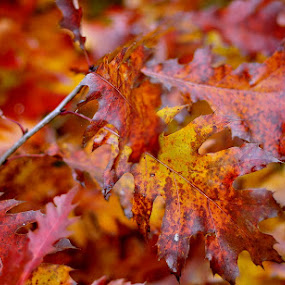 autumn colors by Dragutin Vrbanec - Nature Up Close Trees & Bushes ( autumn  color  foliage oak red yellow  croatia )