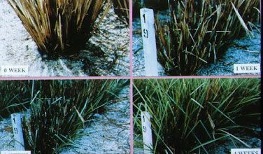 Photo: Malaysia: These four sequential images show vetiver on a tin mine - top left - at time of fire, top right at 1 week, bottom left 2 weeks and bottom right, fully recovered at 4 weeks. P.K.Yoon