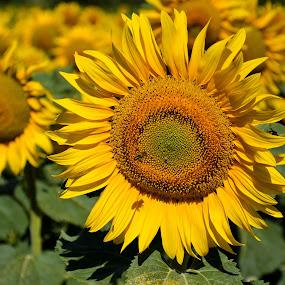 Girasole 2 by Simona Susino - Flowers Flowers in the Wild (  )