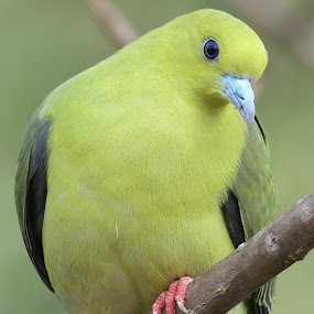 by Gayatri Pimple - Animals Birds ( pigeon, green, bird photos, nature up close, nature and wildlife )