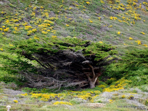 Photo: Windswept trees and flowers, Big Sur